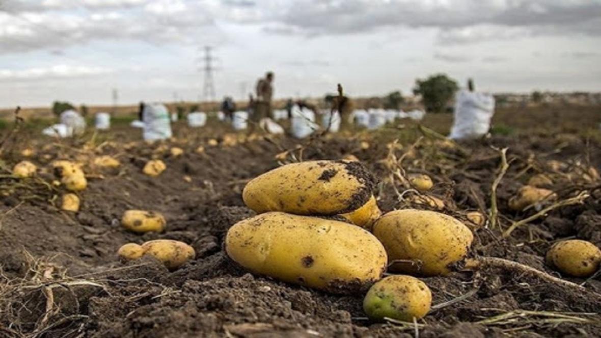 کاشت آزمایشی سیب زمینی در منطقه سرکویر دامغان اجرا شد